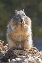 Ground Squirrel, Grand Canyon National Park, Arizona, USA