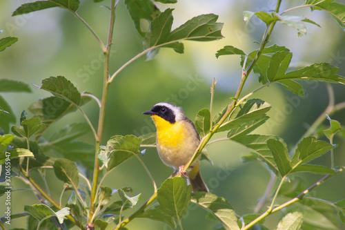 Obraz na plátně Common Yellow throat warbler