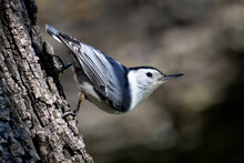 White Breasted Nuthatch On Tre...