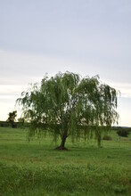 Weeping Willow Tree In A Field