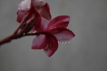 Flor De Mayo En Un Dia Lluvioso. 3