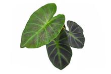 Tropical 'Colocasia Esculenta ...