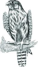 Falcon Bird Of Prey Sketch Bla...