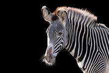 Beautiful Portrait Of A Zebra