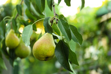 Ripe Pears On Tree Branch In G...