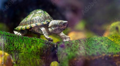 razor-backed musk turtle, Sternotherus carinatus reptile portrait Fototapeta