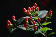 Red And Yellow Hypericum