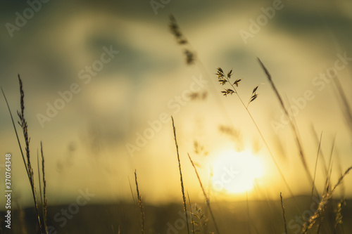 Wild grass in the forest at sunset. Macro image, shallow depth of field. Abstract summer nature background.