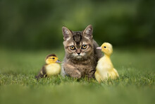 British Shorthair Kitten With ...