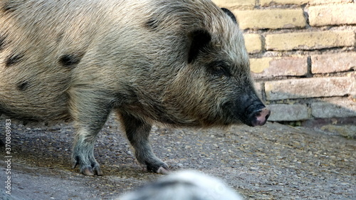 Photo Pig (Sus scrofa domesticus) seen in detail from the thick and dark hair and from the characteristic wet and pinkish muzzle