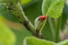 The Two-spot Ladybird Is Eating Aphids On The Grass