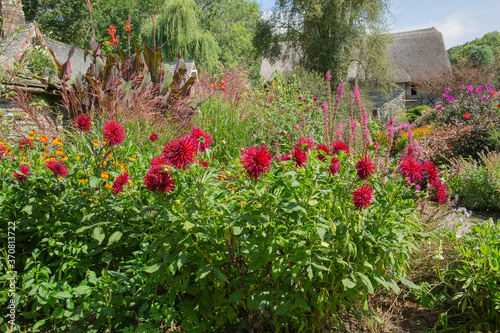 Платно Cactus dahlia, matilda hudson , a beautiful red flower dahlia