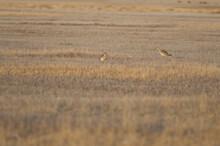 Eurasian Curlews Numenius Arquata In A Meadow. Gallocanta Lagoon Natural Reserve. Aragon. Spain.