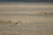 Eurasian Curlew Numenius Arquata. Gallocanta Lagoon Natural Reserve. Aragon. Spain.