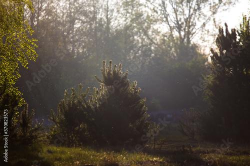 Obraz Młode drzewa w mglisty poranek pod światło. - fototapety do salonu