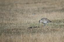 Eurasian Curlews Numenius Arquata Searching For Food. Gallocanta Lagoon Natural Reserve. Aragon. Spain.