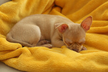 Cute Chihuahua Puppy Sleeping On Yellow Blanket. Baby Animal