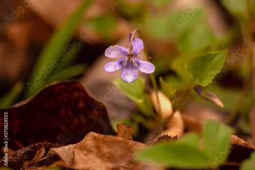 Fototapeta  kwiaty fiołek obraz