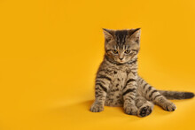 Cute Tabby Kitten On Yellow Background, Space For Text. Baby Animal