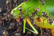 Closeup Of Group Of Ants Eating Or Moving Dead Big Green Cricket In Nature