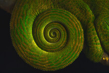 Closeup Side View Of The Tail Of A Green Chameleon Collected In A Spiral Shape. Calumma Oushaughessyi