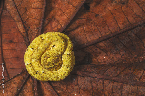Canvas Print From above of bright yellow snake with spots curled up on brown plant leaves