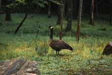 Side View Of Branta Canadensis...