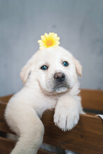 Cute Pup Of Golden Retriever Sitting In Wooden Box With A Flower On Her Head
