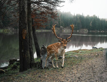Wild Spotted Deer With Antlers Pasturing In Woods Near Pond On Cloudy Day