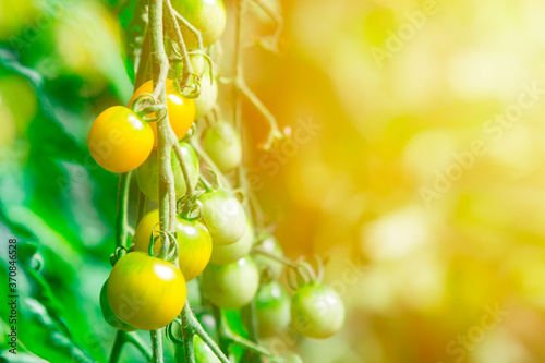 Foto Yellow tomato cluster in greenhouse
