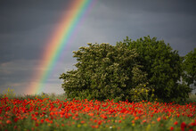 Poppy Field With Rainbow On Sky