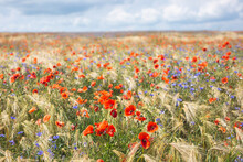 Poppies And Cornflowers Bloomi...