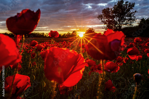 Red poppies growing in field at sunset - 370848551