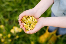 Girl's Hands With Rape Flowers