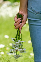 Close-up Of Young Woman's Hand Holding Oxeye Daisies In Park