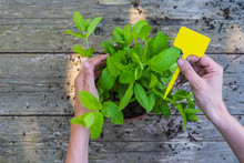 Hands Of Woman Replanting Mint