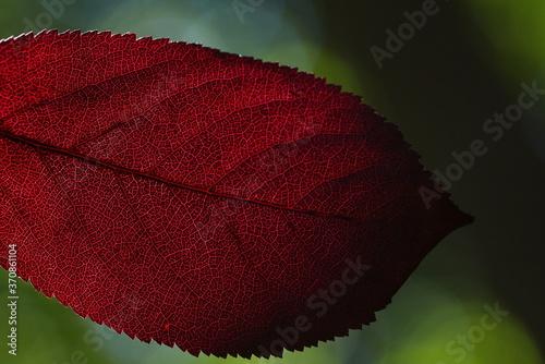 Cuadros en Lienzo Ein Teil von einem dunkel rotes Blatt mit sichtbaren Adern vom Licht der Sonne durchleuchtet auf dem grünen unscharfen Hintergrund