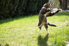Housecat Playing In The Yard A...