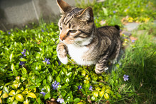 Housecat Playing In The Yard And Garden