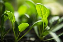 Spinach Seedlings Getting Read...