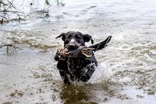 Champion Filed Labrador Training To Retrieve A Duck