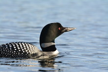 Closeup Photograph Of Loon In Lake Water