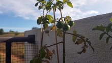 Isolated View Of Unripe Green ...