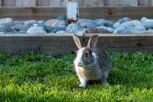 A Blue-eyed Cute Brown Rabbit With White Spotted Fur Sitting On Green Grasses In Front Of Wooden Fence