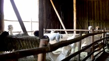 Group Of White Alpaca Standing In A Farm Waiting To Be Shaven For Pure Wool Merino Production
