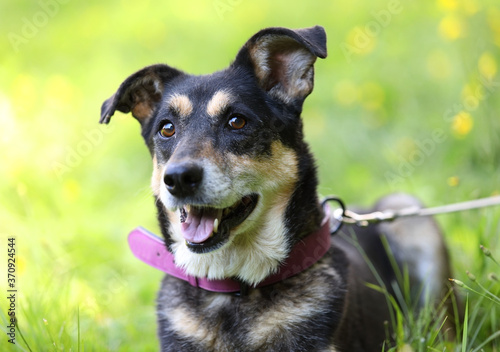 Leinwand Poster Portrait of black and ginger mongrel dog in a collar with a leash
