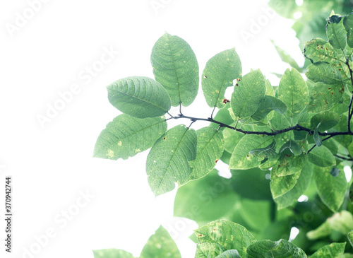 The branch of bird-cherry tree Prunus padus isolated on a white background Fototapete