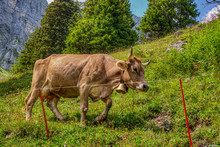 Cow Walking Alongside A Farmer Electric Fence In The Mountains