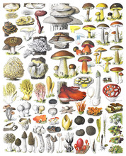 Mushroom And Toadstool Collection - Vintage Illustration From Adolphe Philippe Millot
