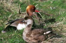 Red-Crested Pochard, Netta Rufina, Pair Laying On Grass